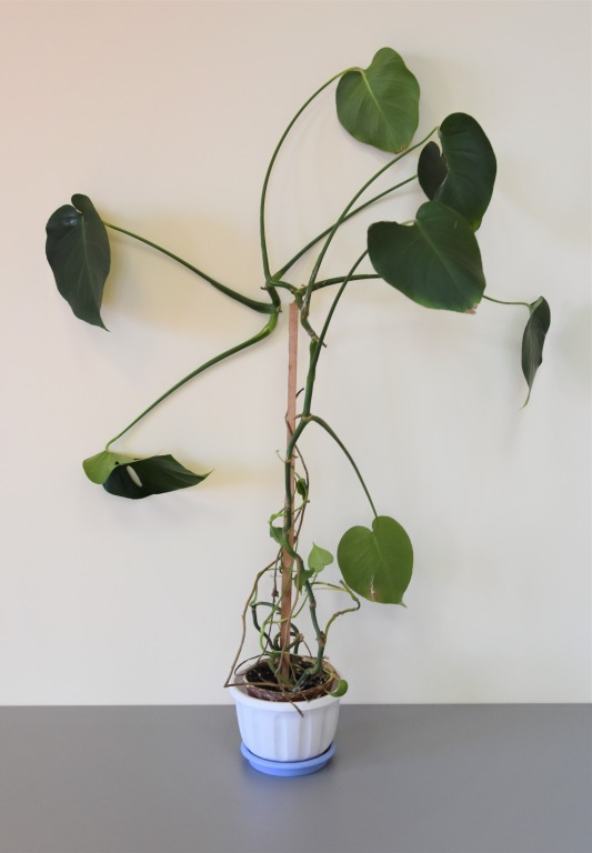 Filodendron (Philodendron)